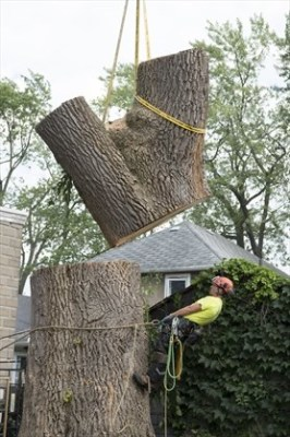Tree removal, arborist, EAB, dead tree